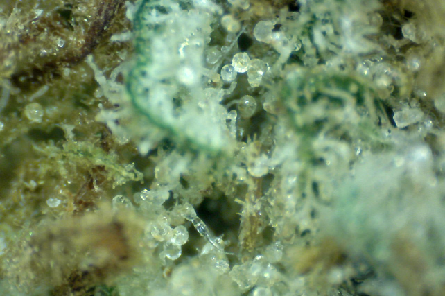 Bubblegum Weed Macro best coffeeshopbestfriends
