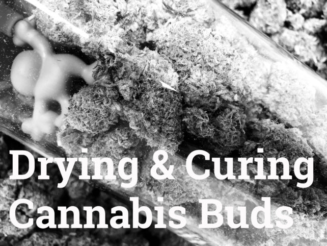 Drying and Curing Cannabis Buds Best Coffeeshop Amsterdam