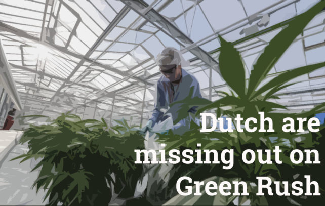weed greenhouse dutch cannabis